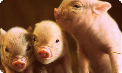 Cute baby piglets